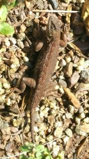 San Francisco, California, reptile, lizard,