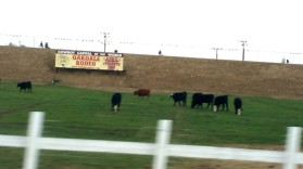 Oakdale, Yosemite, bulls, cowboy,