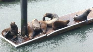 California, San Francisco, sea lions, dock, pier 39, docks,