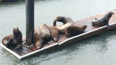 California, San Francisco, sea lions, dock, pier 39, docks,