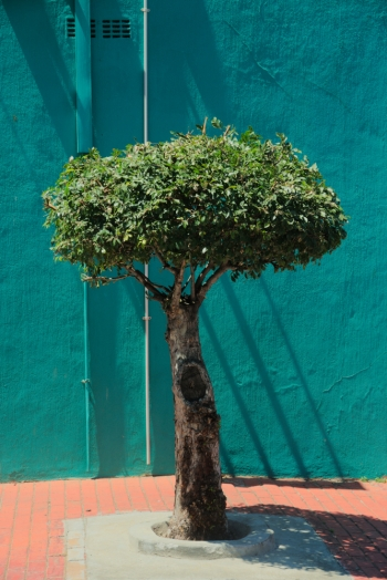 Bonsai, small tree in bo-kaap, Cape Town, South Africa