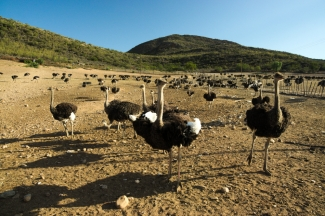 Just to bust the myth - ostriches do not hide their heads in the ground when they are scared!