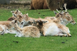 Antelopes taking a nap
