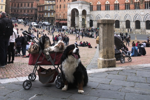 Dogs at piazza del campo