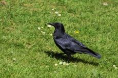 Raven s down