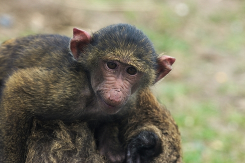 Small baboon