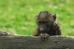 Small baboon2