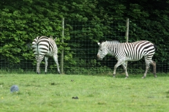 Zebras hiding away