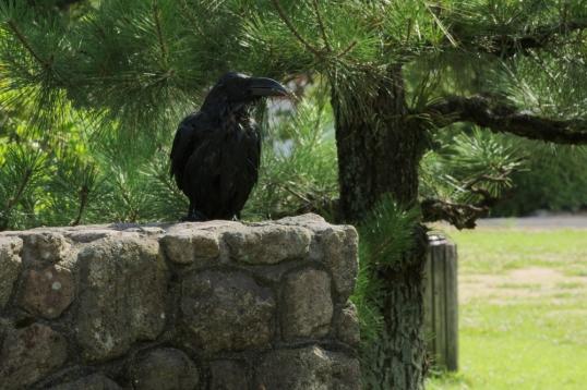A raven taking a bath