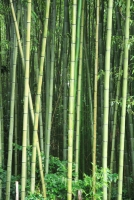 Kyoto Bamboo Forest in its essence