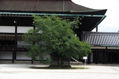 Kyoto Imperial Palace lone tree