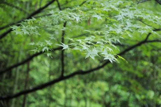Maple leaves. Still green.