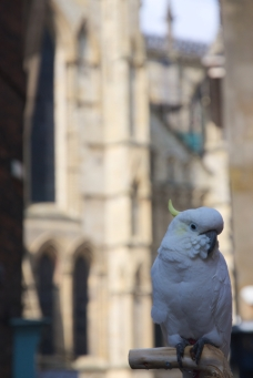 A pirate's parrot in York