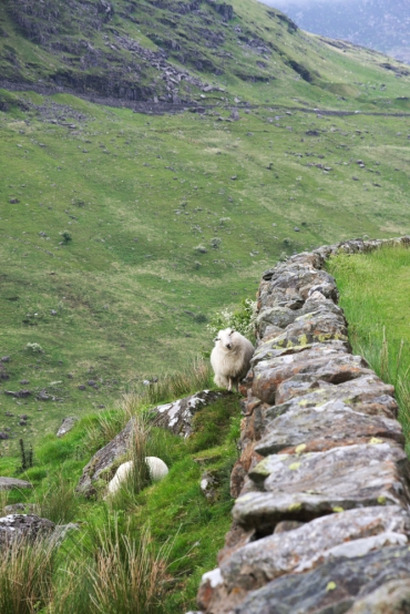Sheep you know you are in Wales 4