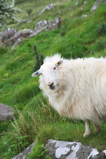 Sheep you know you are in Wales, the look