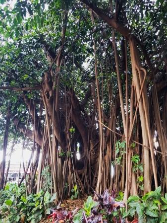 Cairns exotic plants 2-1