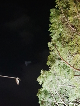 Cairns flying bats