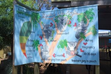 Koala's Life Cycle