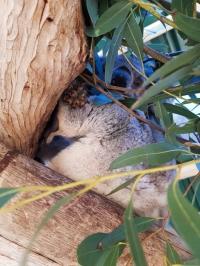 Maru Koala Park 5