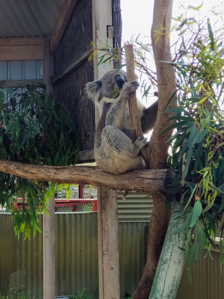 Maru Koala Park 6