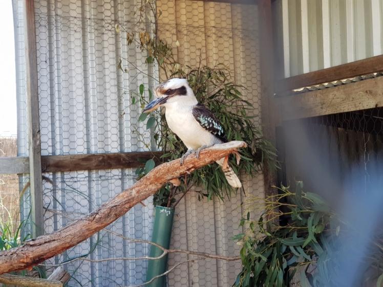 Maru Koala Park Kokaburra