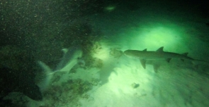 Night Dive White Tip Shark 2