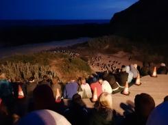 Philip Island Penguin Parade 8