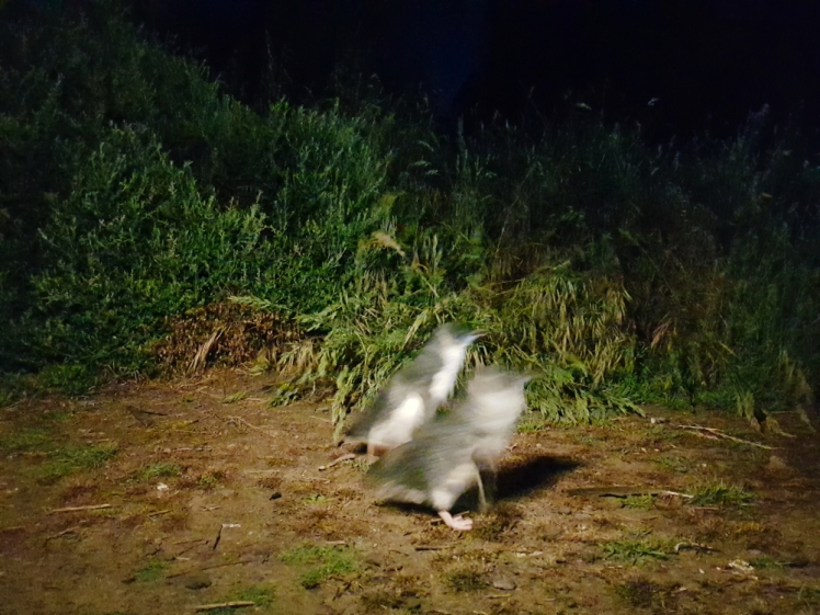 Philip Island Penguin Parade 9
